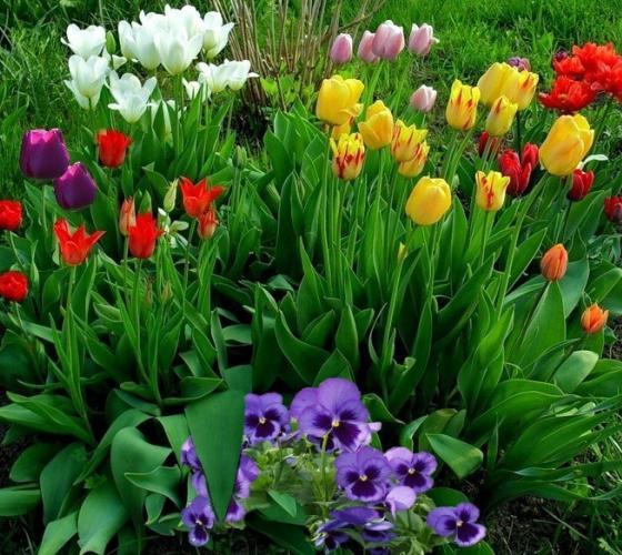 посадка тюльпанів фото