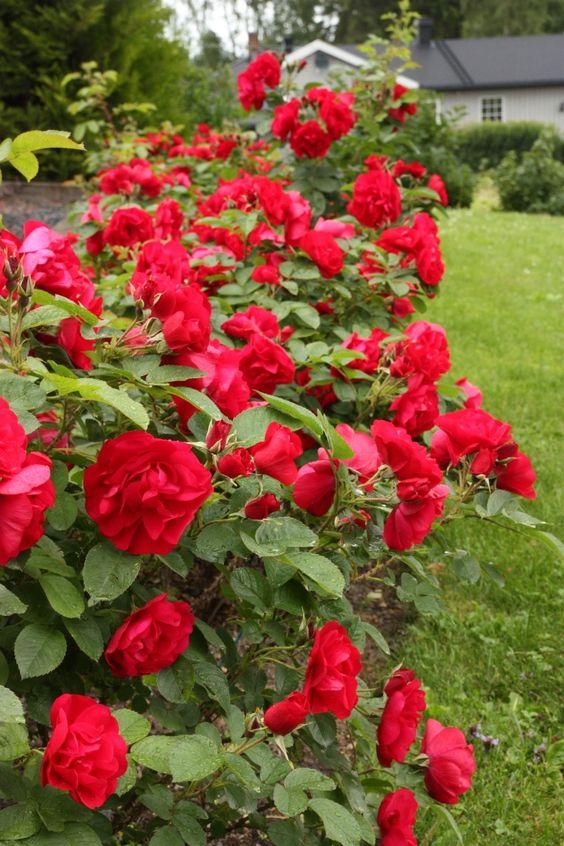 Зимостійка троянда Hansaland