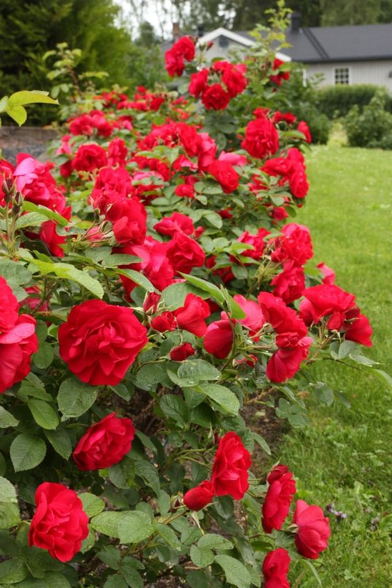 сорт троянди Hansaland