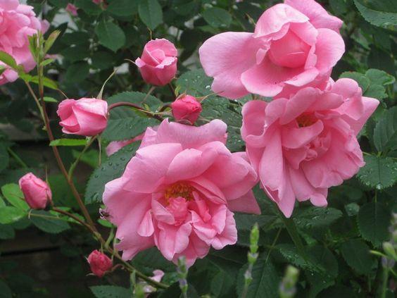 Зимостійка троянда Prairie Dawn