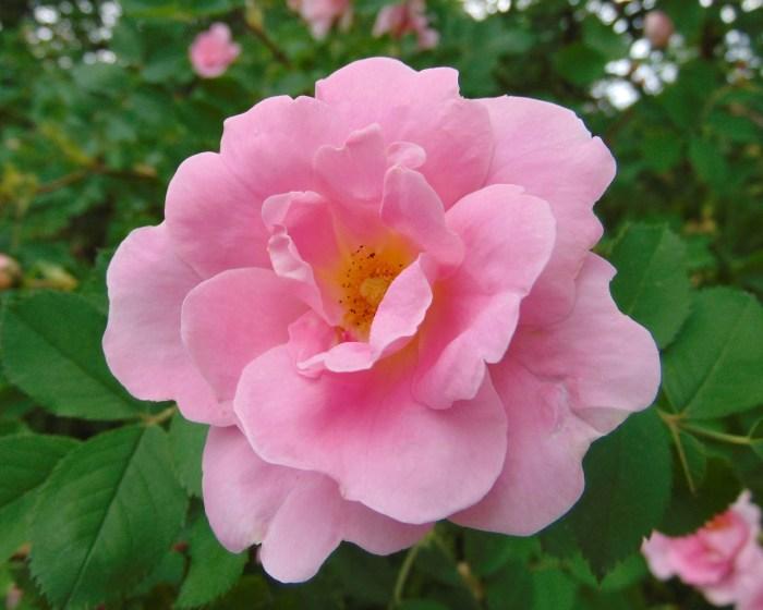 Prairie Youth сорт троянди