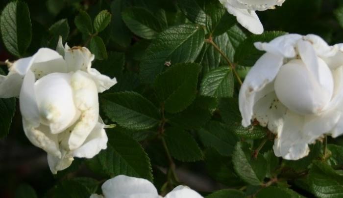 Зимостійка троянда Sir Thomas Lipton