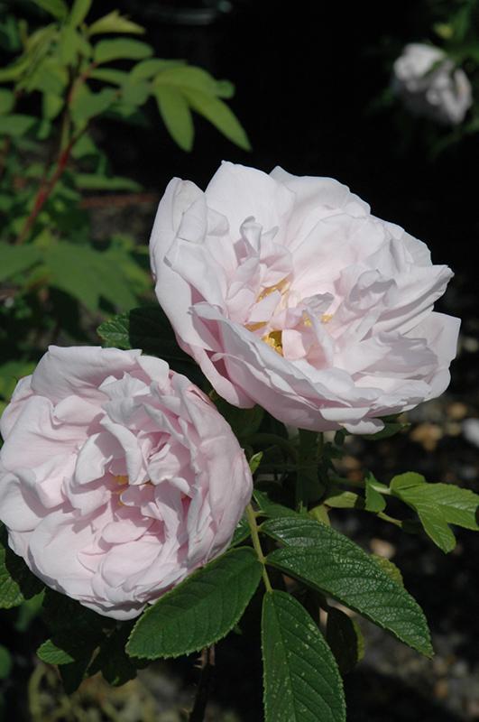 Зимостійка троянда Snow Pavement
