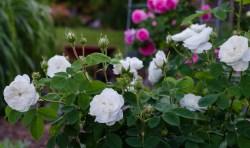 Троянди, які не потребують укриття на зиму - 11 сортів з фото