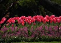 Садовий сезон починається з весняних цибулинних