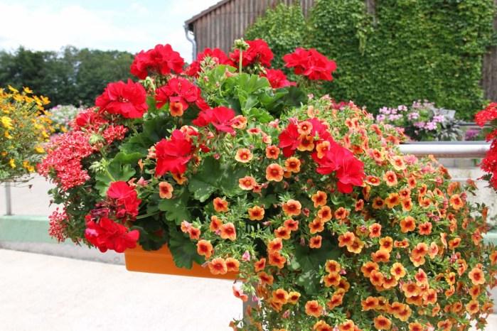 балконні квіти фото