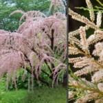 Тамарикс – натуральне мереживо саду