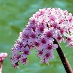 Дармера – ефектна трав'яниста рослина-велетень