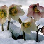 Морозник – чудо-квітка зимового саду