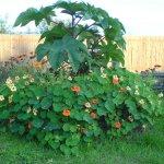 7 однорічників-гігантів для експрес-озеленення