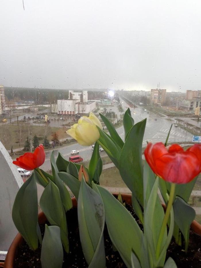 Тюльпани на балконі, 16 березня 2017 рік