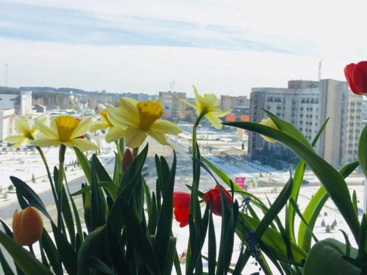 Вигонка весняних цибулинних - дієвий спосіб отримати квітучі тюльпани на Різдво