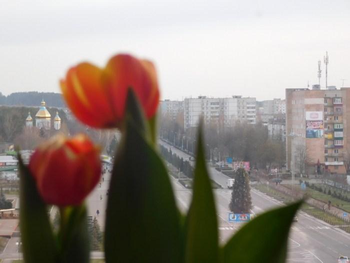 Тюльпани під ялиночку, 2017 рік