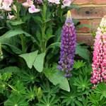 Люпин – прикраса квітників практичного саду