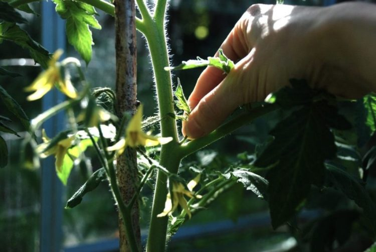 Пасинкування томатів