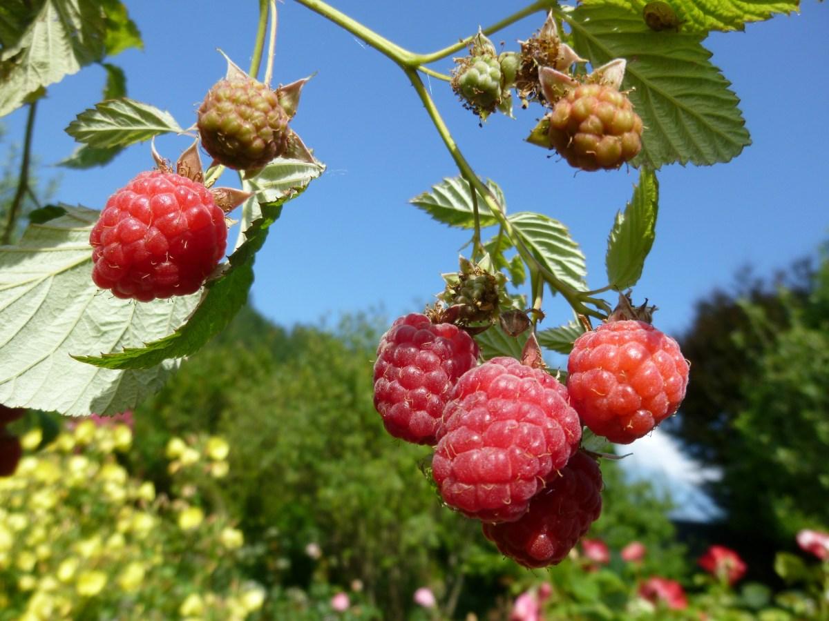 Ремонтантна малина – особливості догляду на початку літа