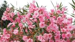 Олеандр - шматочок вічнозеленої середземноморської краси в саду