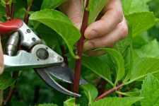 Вегетативне розмноження кущів живцюванням влітку - доступне навіть новачкам