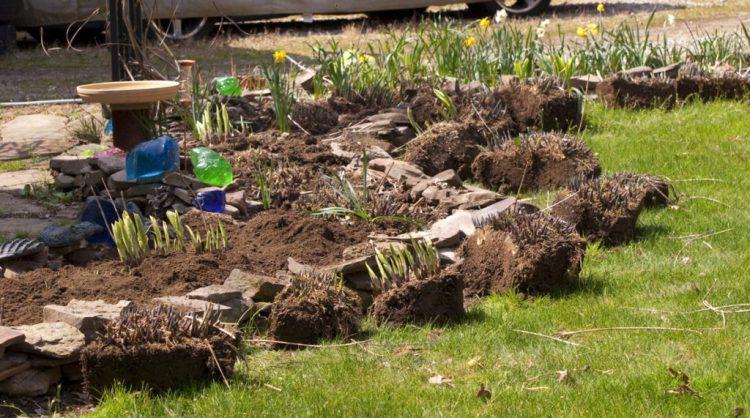 Терміни посадки хости збігаються зі звичайними термінами посадки трав'янистих багаторічників