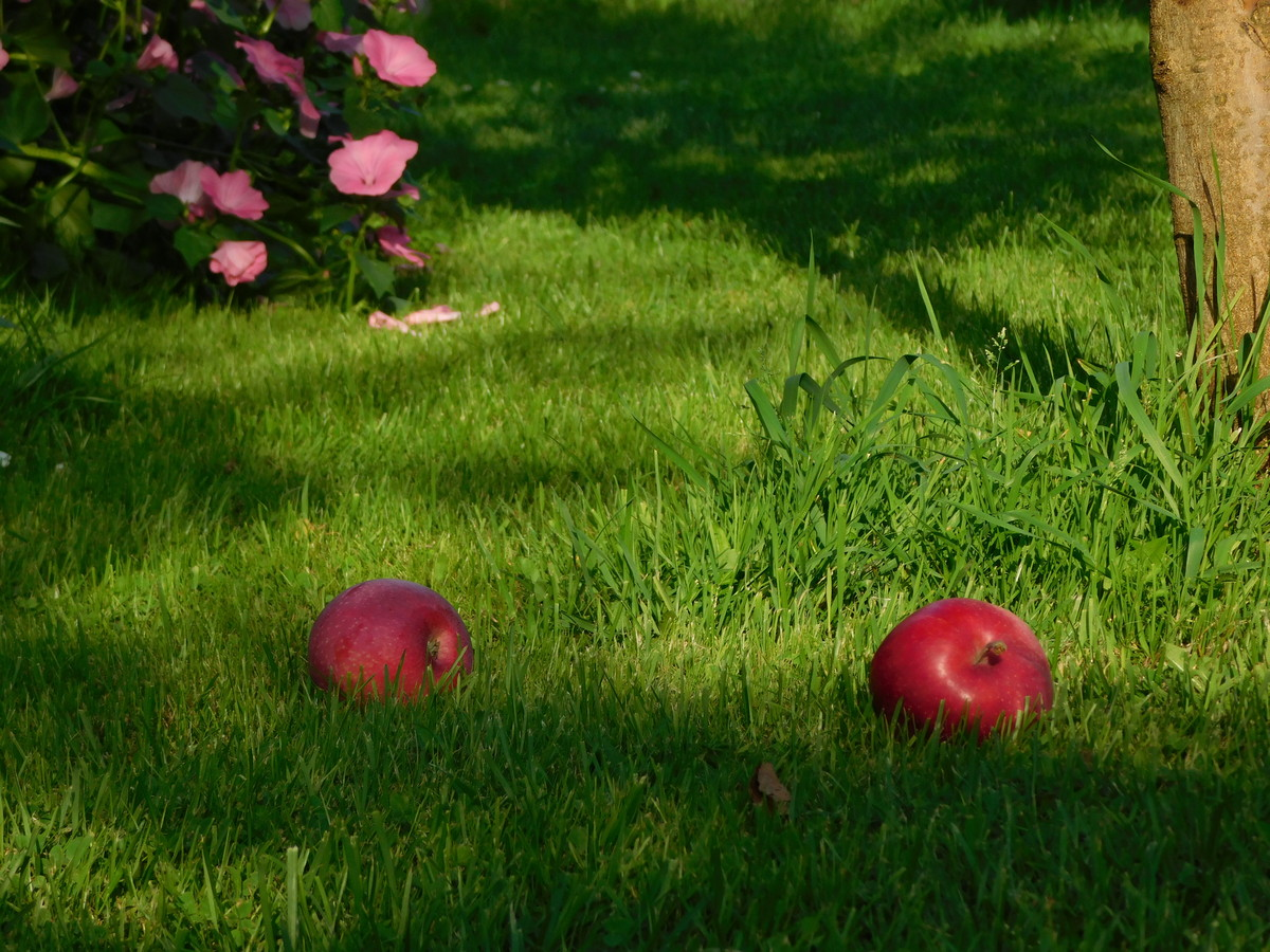 Роботи в саду і на городі в серпні