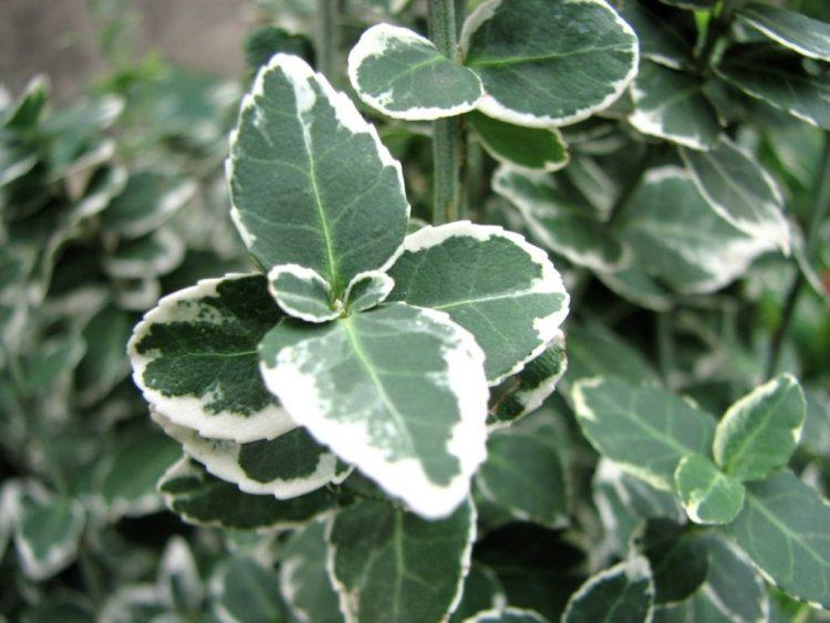 Зелене листя бересклету Форчуна з білою чи жовтою облямівкою - його головна прикраса
