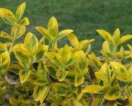Бересклет Форчуна —один з найкращих декоративних невибагливих кущів
