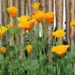 Ешольція каліфорнійська (Eschscholzia californica)