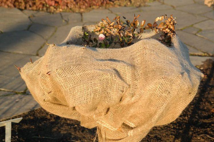 У листопаді час утеплювати свої теплолюбні рослини