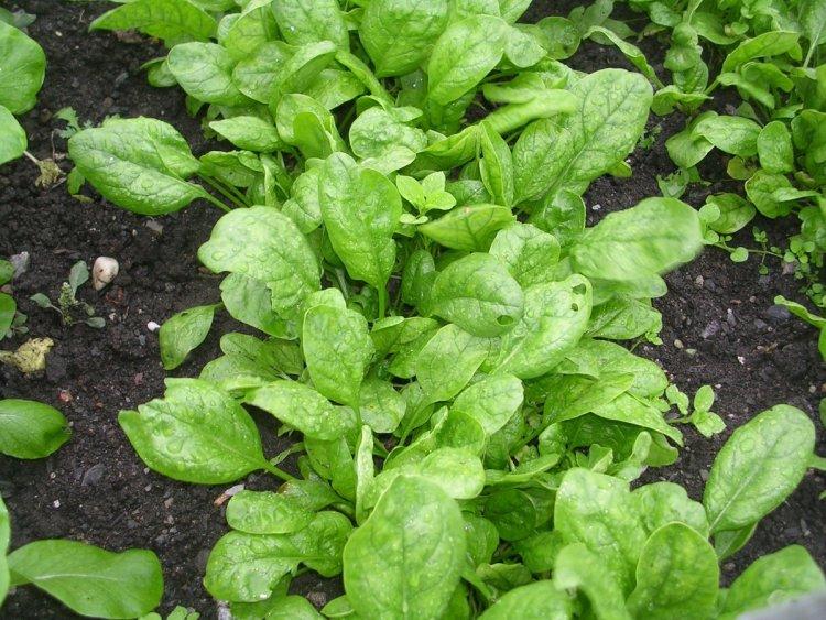 Підзимній посів шпинату має два терміни: в останніх числах вересня та в листопаді-грудні