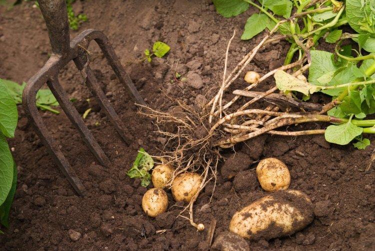 Серед звичайних городніх культур за трудовитратами у картоплі немає рівних