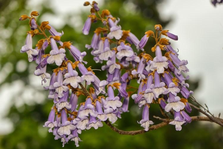 Цвітіння павловнії — дуже ефектне видовище