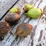 Повністю дозріле насіння павловнії зібране в своєрідні коробочки темного кольору