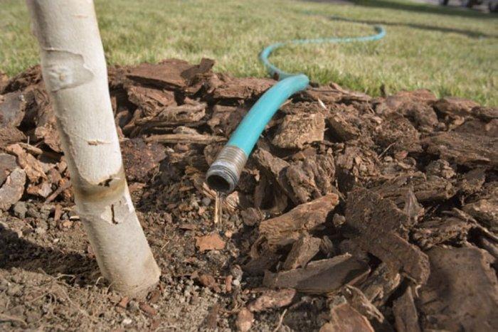 Основна мета осіннього вологозарядного поливу - промочити весь коренезаселений шар грунту (і навіть із запасом) під кожною рослиною
