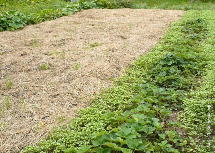 На місце мульчі восени я посадила суницю