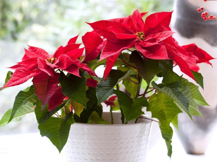 Молочай-різдвяник, або Молочай прекрасний (Euphorbia pulcherrima)