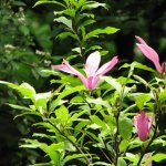 Бувають магнолії листопадні і вічнозелені, бувають у вигляді невеликих чагарників і високих дерев