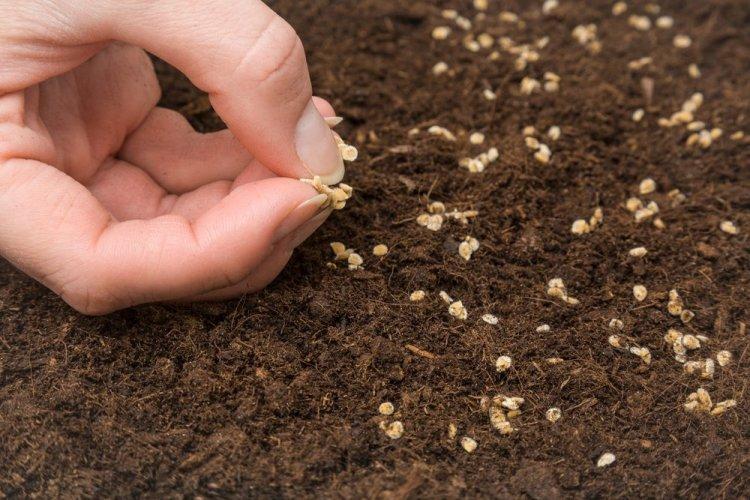 При посіві насіння томатів безпосередньо в ґрунт скорочується період від сходів до плодоношення