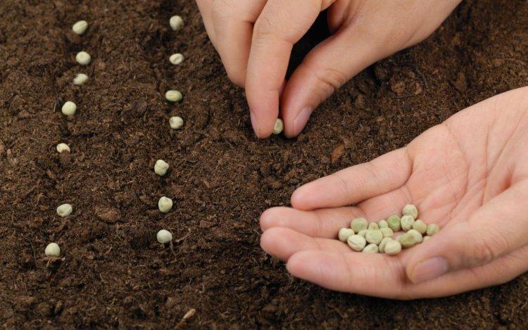 Контрольний посів насіння — ефективний спосіб перевірити його схожість