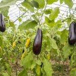 Баклажани в теплиці — правила вирощування