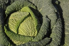 5 незвичайних видів капусти, які слід обов'язково вирощувати