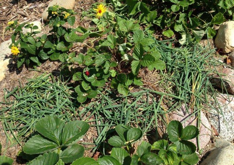 Мульчування полуничних грядок травою, бур'янами, рослинними залишками
