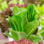 9 кращих овочевих салатів, які варто посіяти вже в цьому сезоні