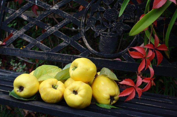 Для отримання максимального смаку та аромату плоди айви варто потримати на дереві, як можна довше