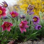 9 найяскравіших першоцвітів в саду