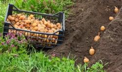 Вчимося користуватися місячним календарем і визначаємо найкращі дні для посадки картоплі в 2019 році