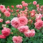7 секретів вирощування троянд без «хімії»