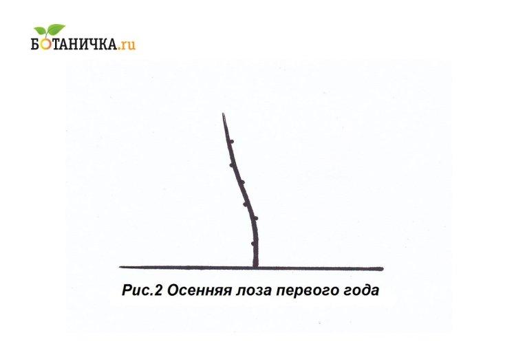 Формування кущів по рукавно-віяловій схемі починають з вигонки однорічної лози