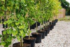 Чи можна садити декоративні та плодові саджанці влітку?