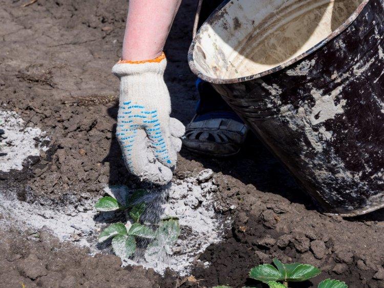 Зола насичує ґрунт мікроелементами і захищає полуницю від шкідників