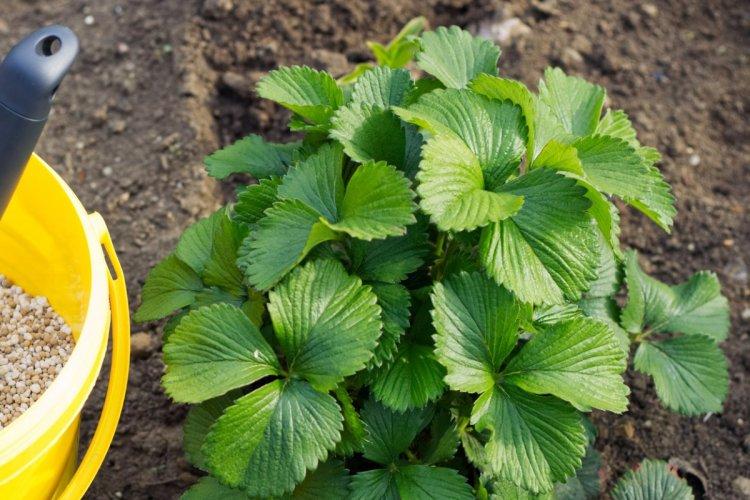 Для успішного формування квіткових бруньок наступного сезону суницю садову необхідно підживити фосфорно-калійними добривами